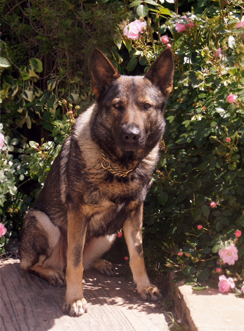 Retired Service Dogs That Need A Home